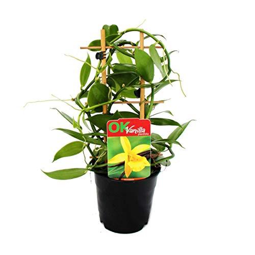 Exotenherz - Planta de...