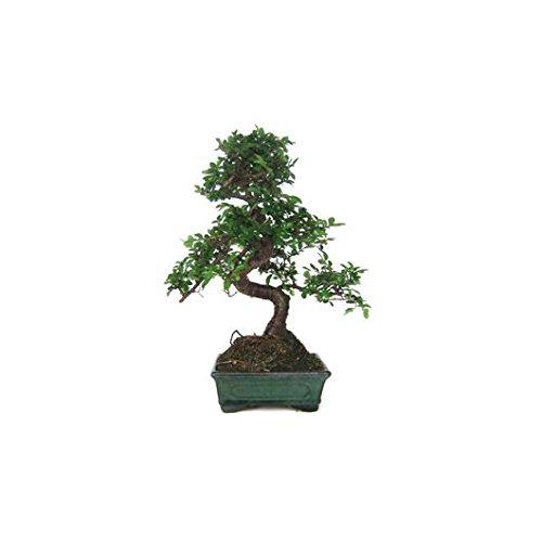 Zelkova parvifolia 6...