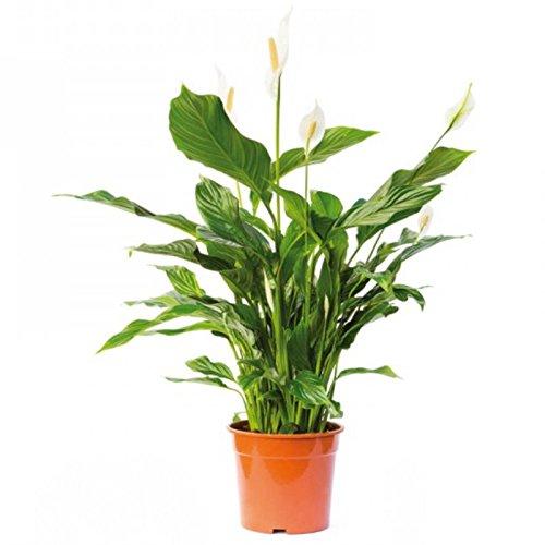 Spathiphyllum wallisii -...