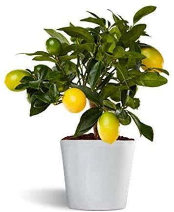 Limequat o limonella...