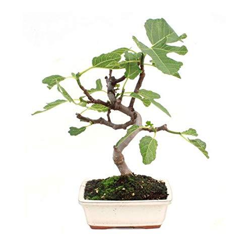 Bonsái Ficus Carica de 7...