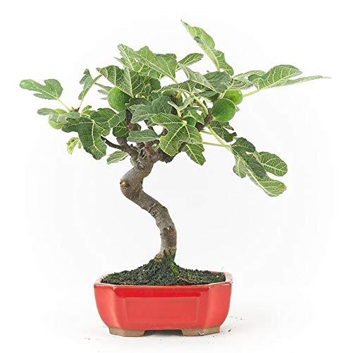 Bonsái Ficus Carica de 8...