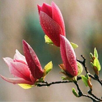 semillas de magnolia,...