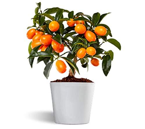 Nagami kumquat - Naranjo...