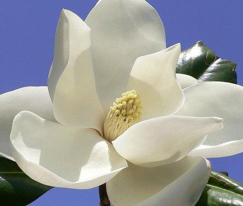 Magnolia grandiflora,...