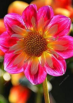 Seeds:Real Dahlia Bulbs,...