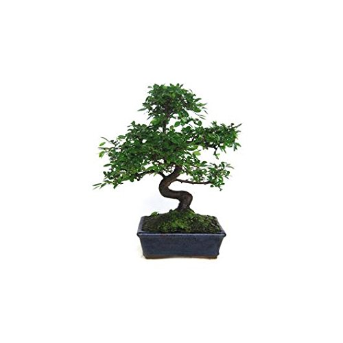 Zelkova parvifolia 8...