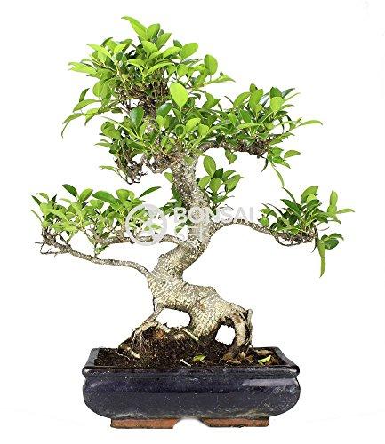 Bonsai - Ficus, 10 Años...