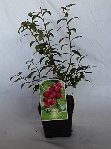 Arandano rojo (maceta 2...