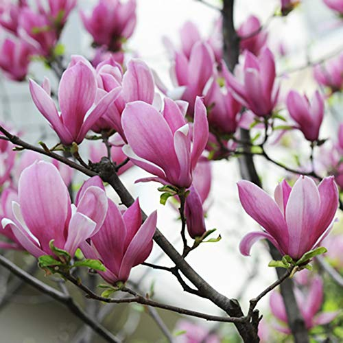 Magnolia, semillas 20Pcs...