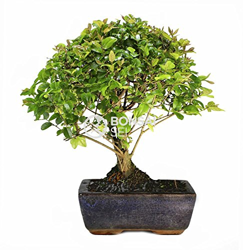 Bonsai - Sageretia, 5...