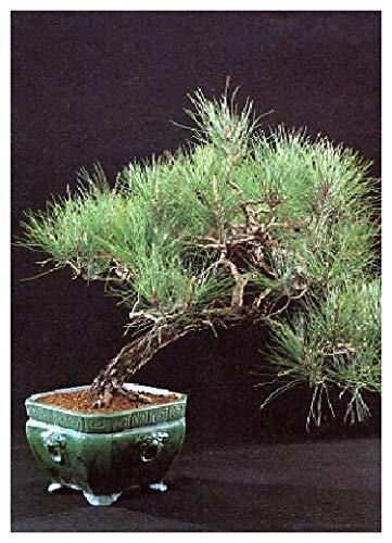 Tropica bonsai pino del...