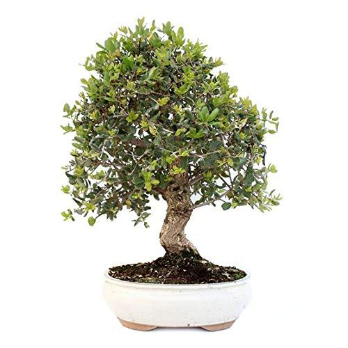 Bonsái Quercus Suber...