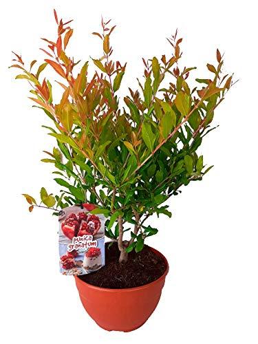 Granado (Punica granatum)...