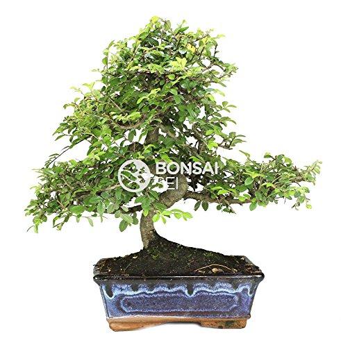 Bonsai - Olmo chino, 8...
