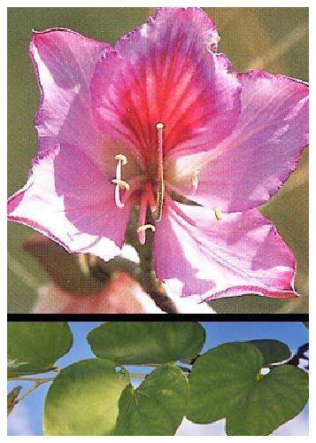 Tropica - Orquídea...