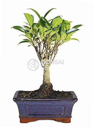 Bonsai - Ficus, 5 Años...