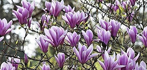 10 Semillas de Magnolia...