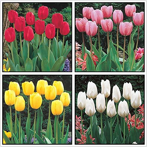 Tulipan Bulbo,Especies...