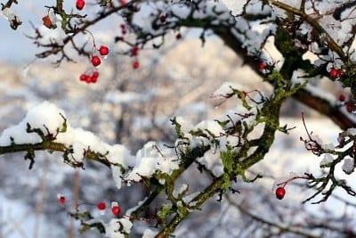 Elegir especies de rboles frutales seg n el clima for Arboles de hoja perenne para clima frio