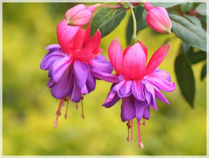 Fuchsia bicolor
