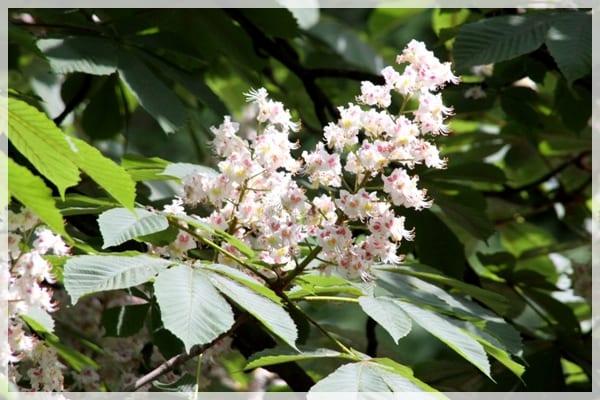 Flor del castaño