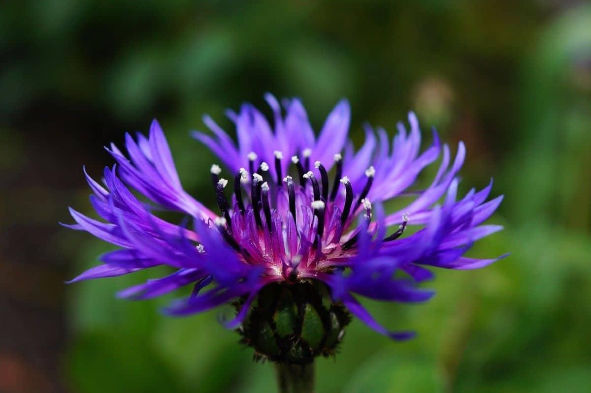 La centaurea es una hierba anual de flores azules