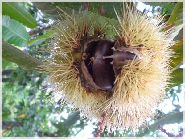 Castaña, fruto del castaño