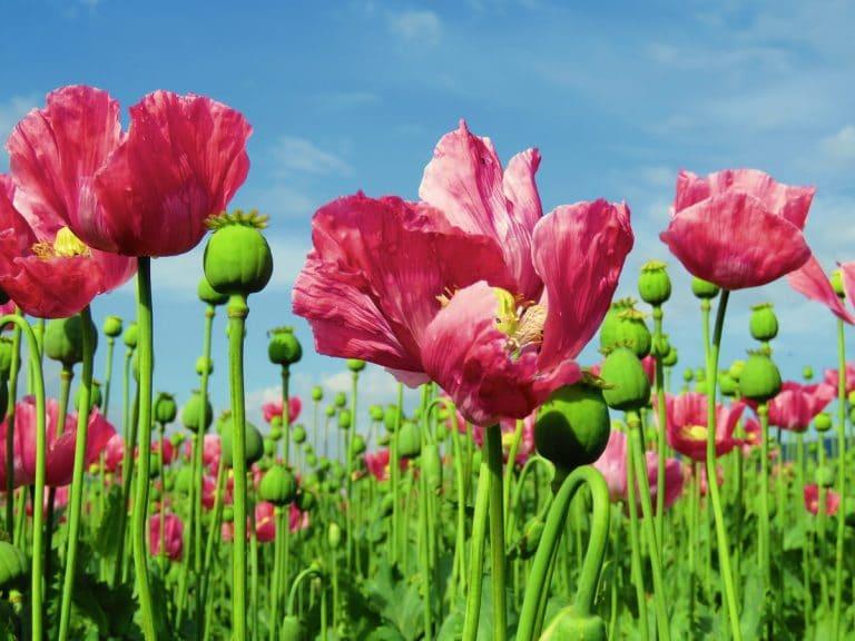 Las flores anuales y bianuales son bonitas