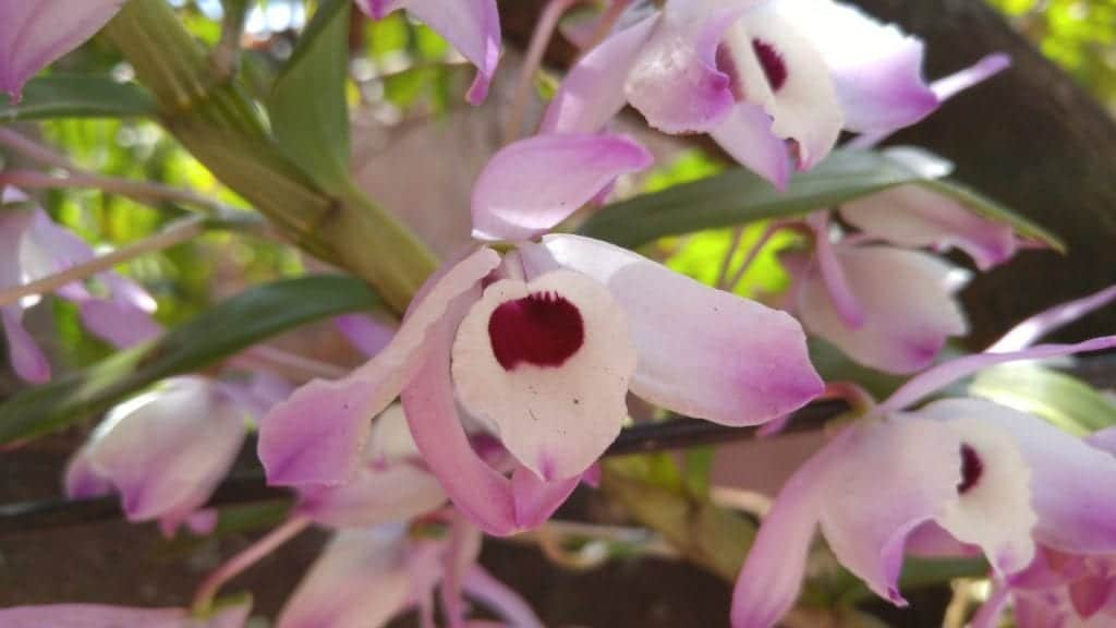 La Cattleya es una orquídea tropical