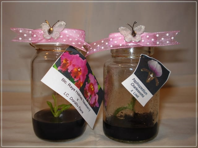 Orquídea in vitro