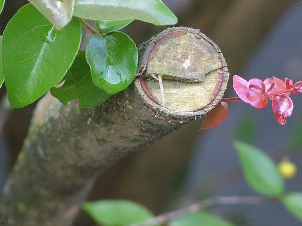 Poda de arbustos