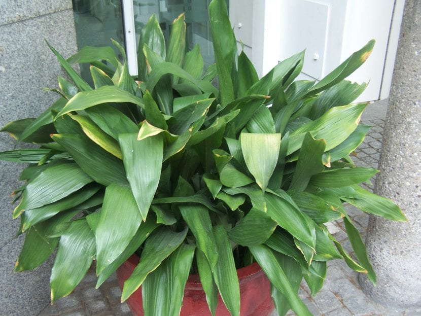 Vista de la Aspidistra, una planta de hojas verdes