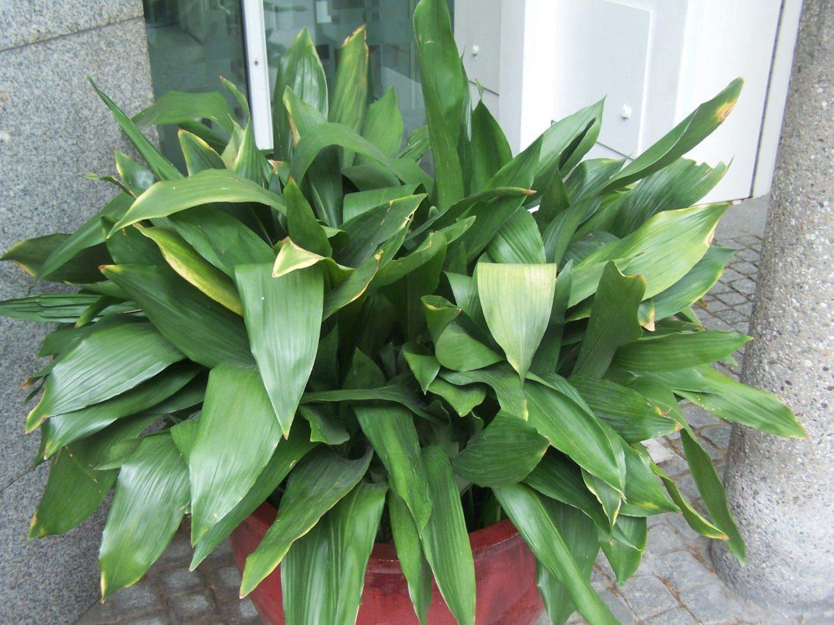La Aspidistra es una planta muy usada en interior