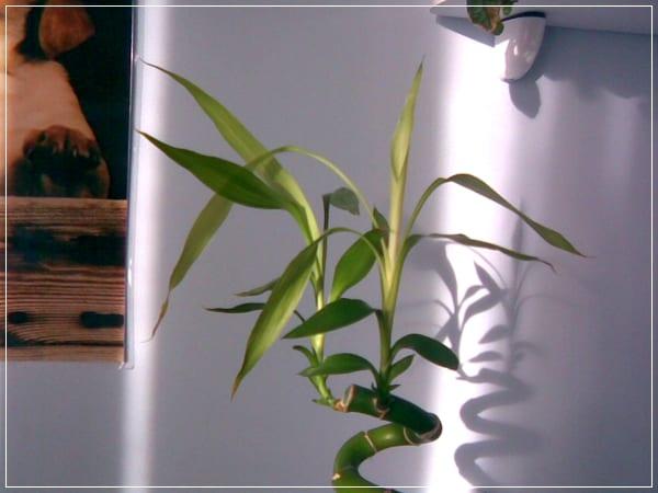 Bambú en maceta