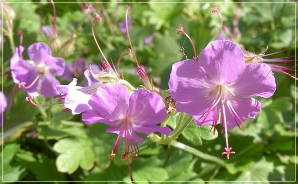 Geranium x cantabrigiense