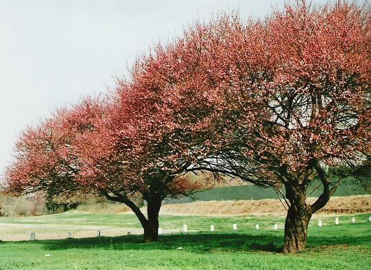 Lo que no sab amos de los rboles perennes for Arboles perennes para jardines pequenos