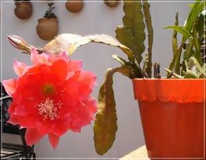 Epiphyllum sp