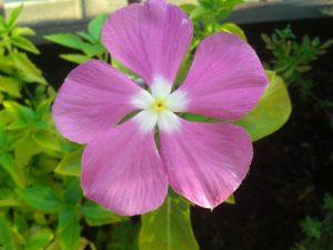 Vinca de flor rosa