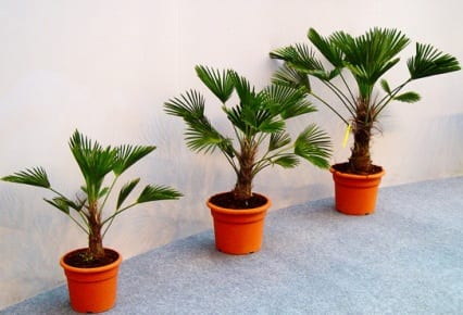 Cultivo de palmeras en interior ii for Palmeras de interior
