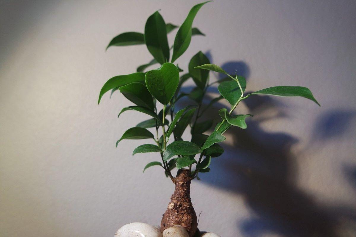Los bonsais han de estar en semisombra