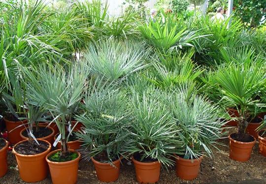 Cultivo de palmeras en interior for Plantas de interior tipo palmera