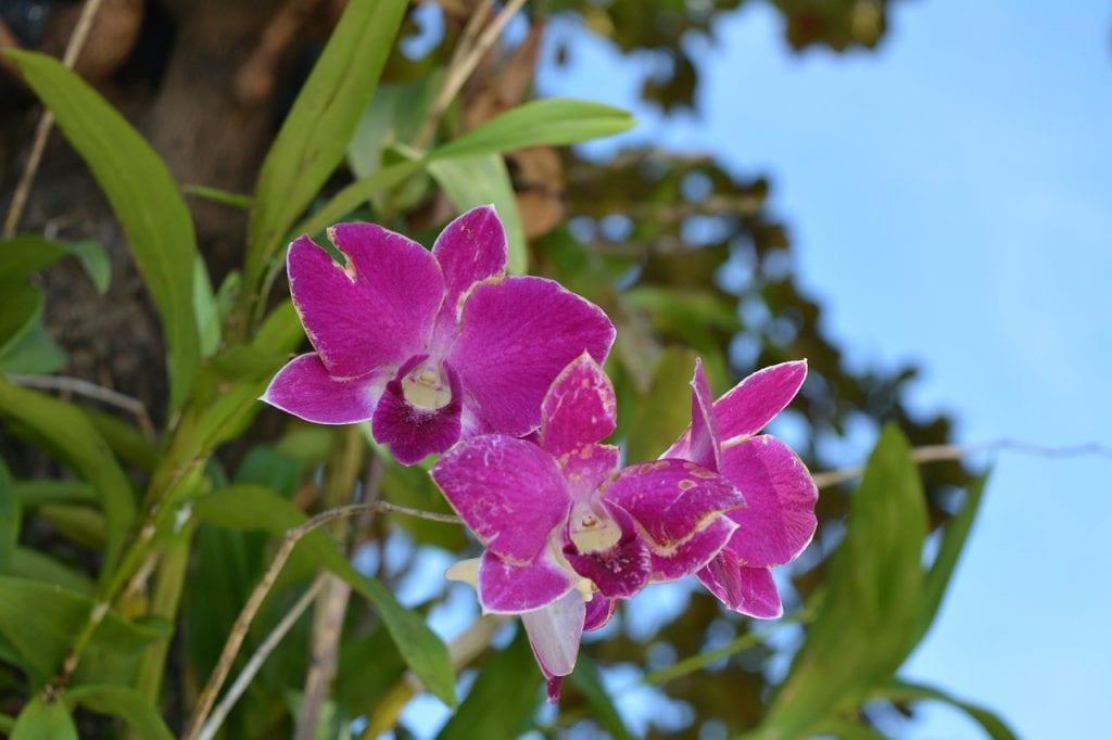 La orquídea es una planta tropical
