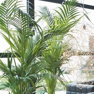 Cultivo de palmeras en interior ii - Plantas de interior tipos ...