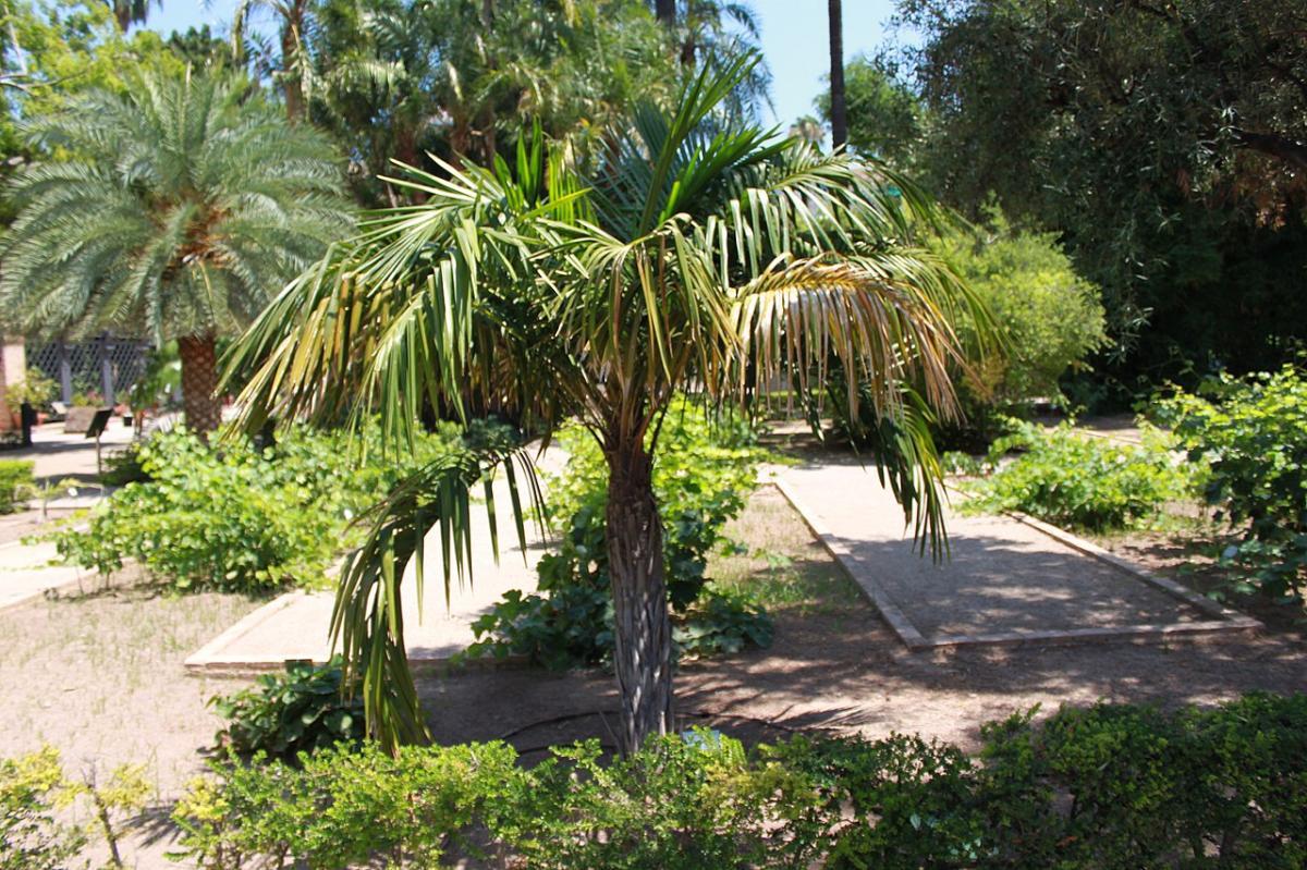 El Syagrus shizophylla es una palmera pequeña