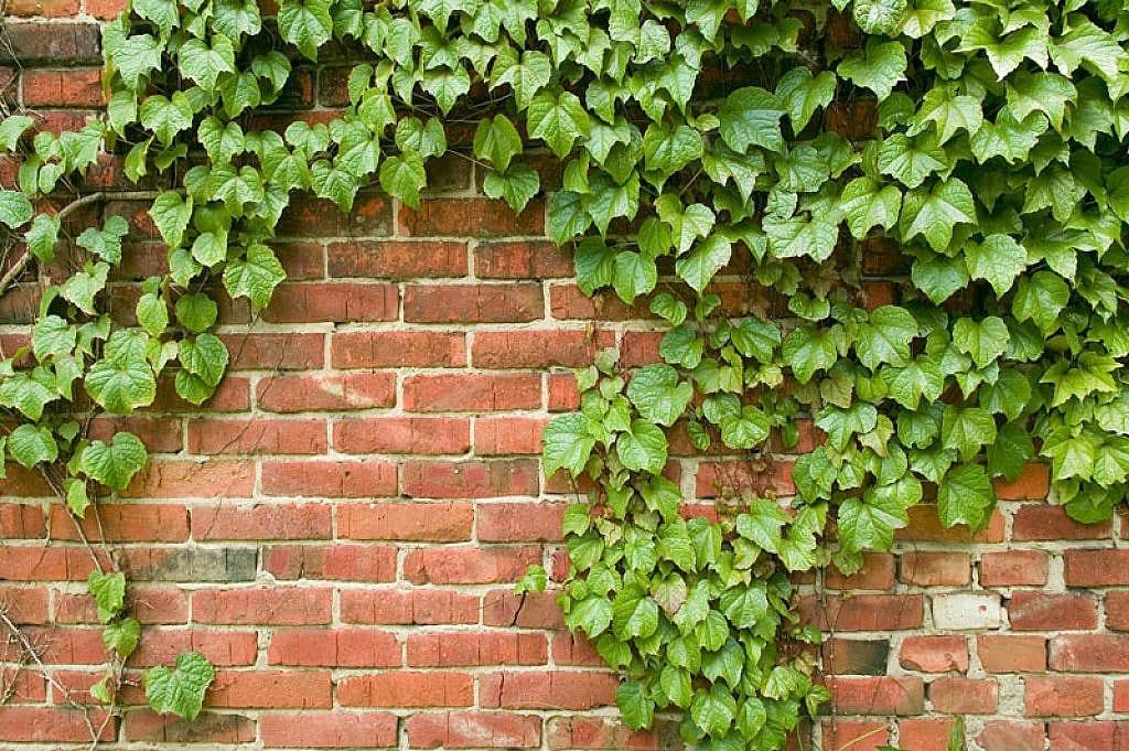 C mo plantar una enredadera for Plantas trepadoras para muros