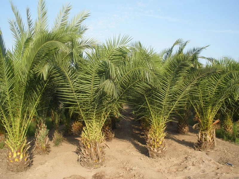 Trasplante de palmeras grandes y peque as - Palmeras pequenas para jardin ...