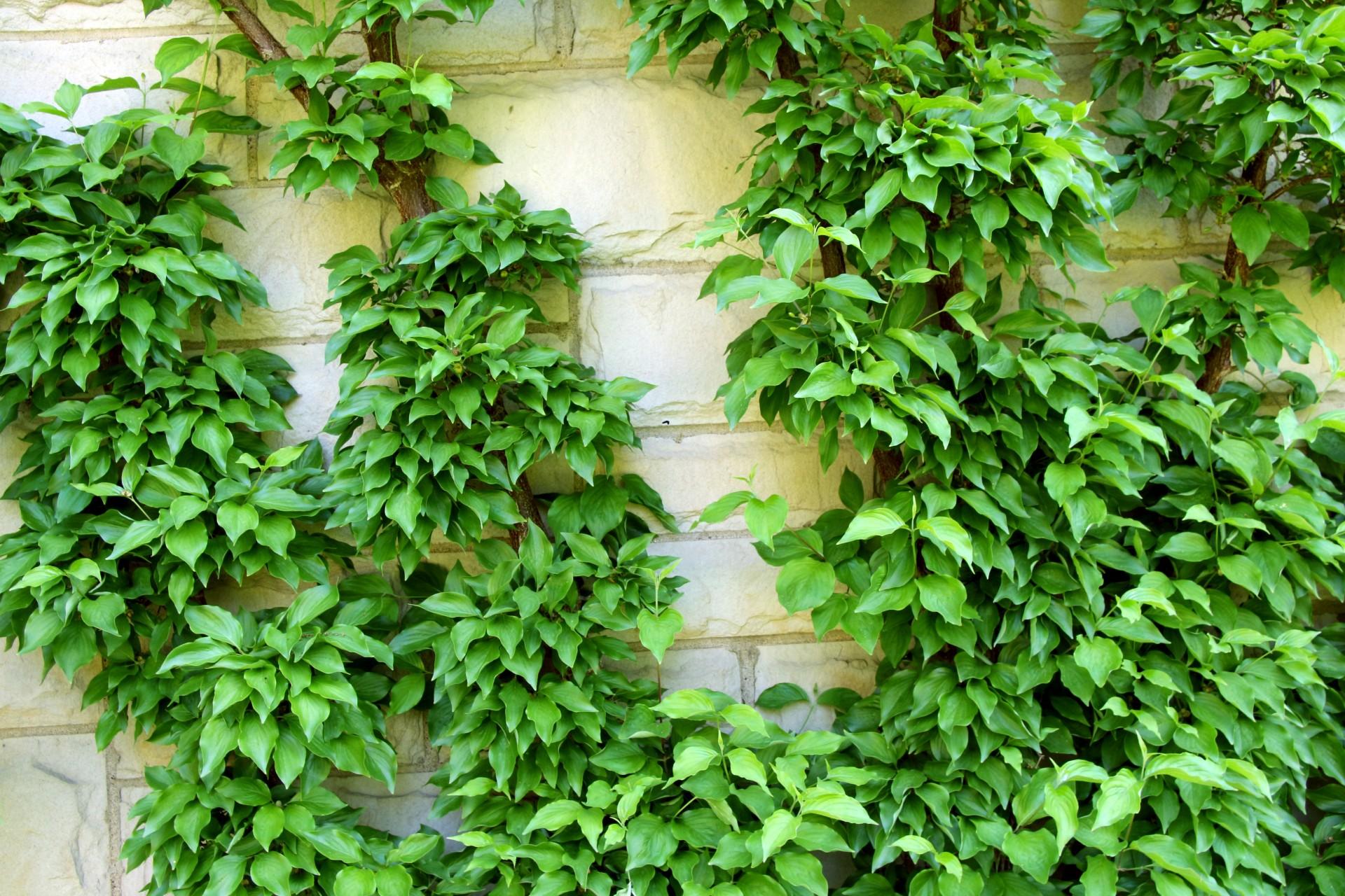 La enredadera se planta en primavera