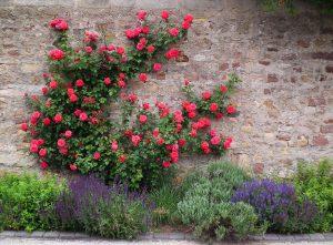 Vista del rosal trepador