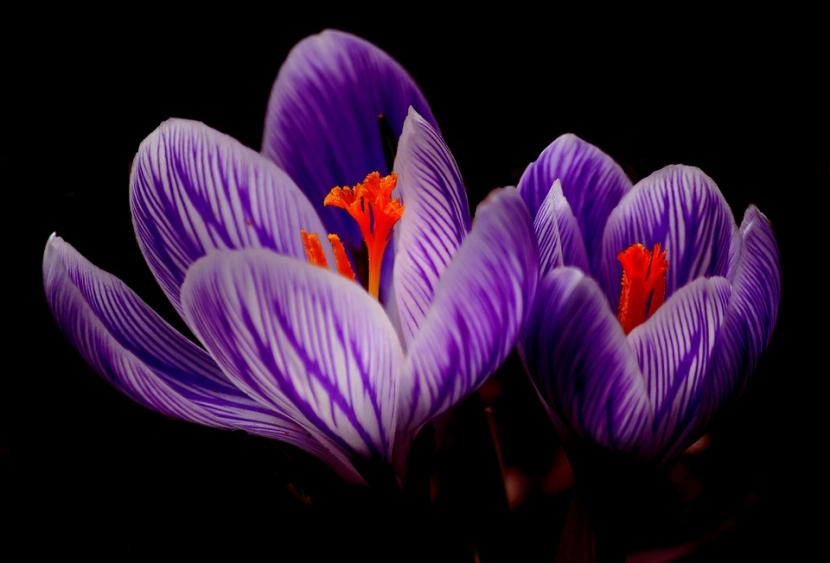 Flor del azafrán macro